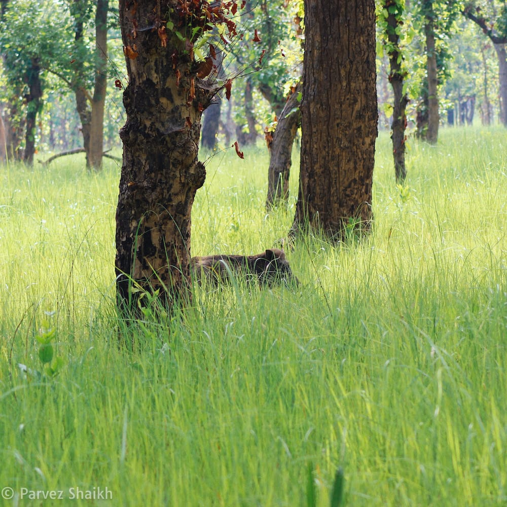 Wild Boar at Shuklaphanta National Park Nepal