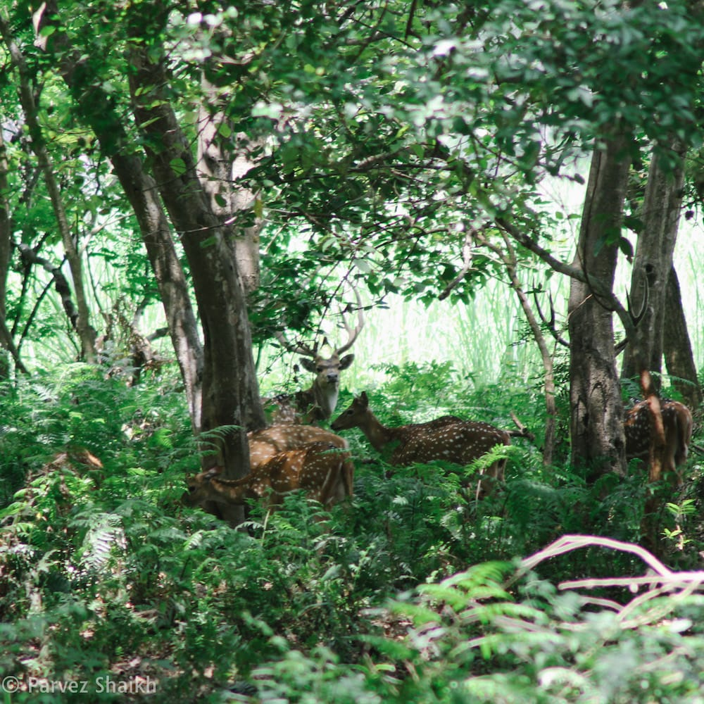 Deer at Shuklaphanta National Park