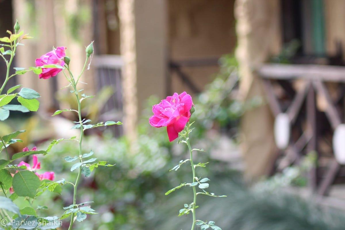 Flowers in a Garden in Bardia, Nepal