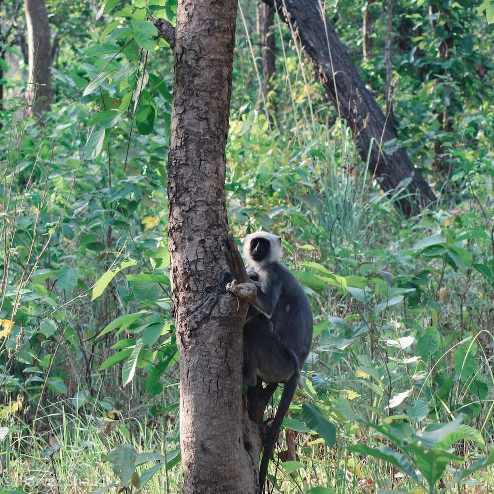 Monkeys at Shuklaphanta National Park Nepal
