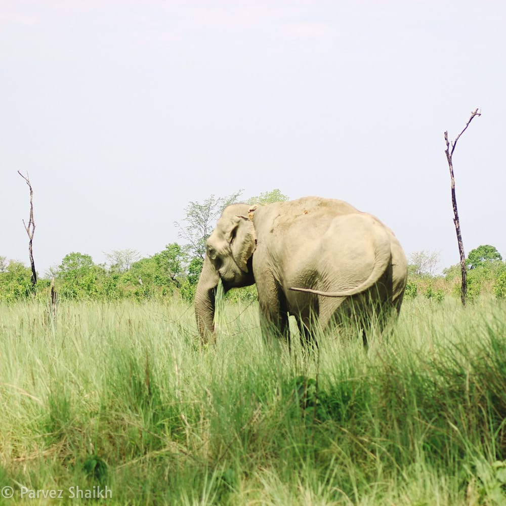 Spotted an Elephant at Bardia National Park Nepal