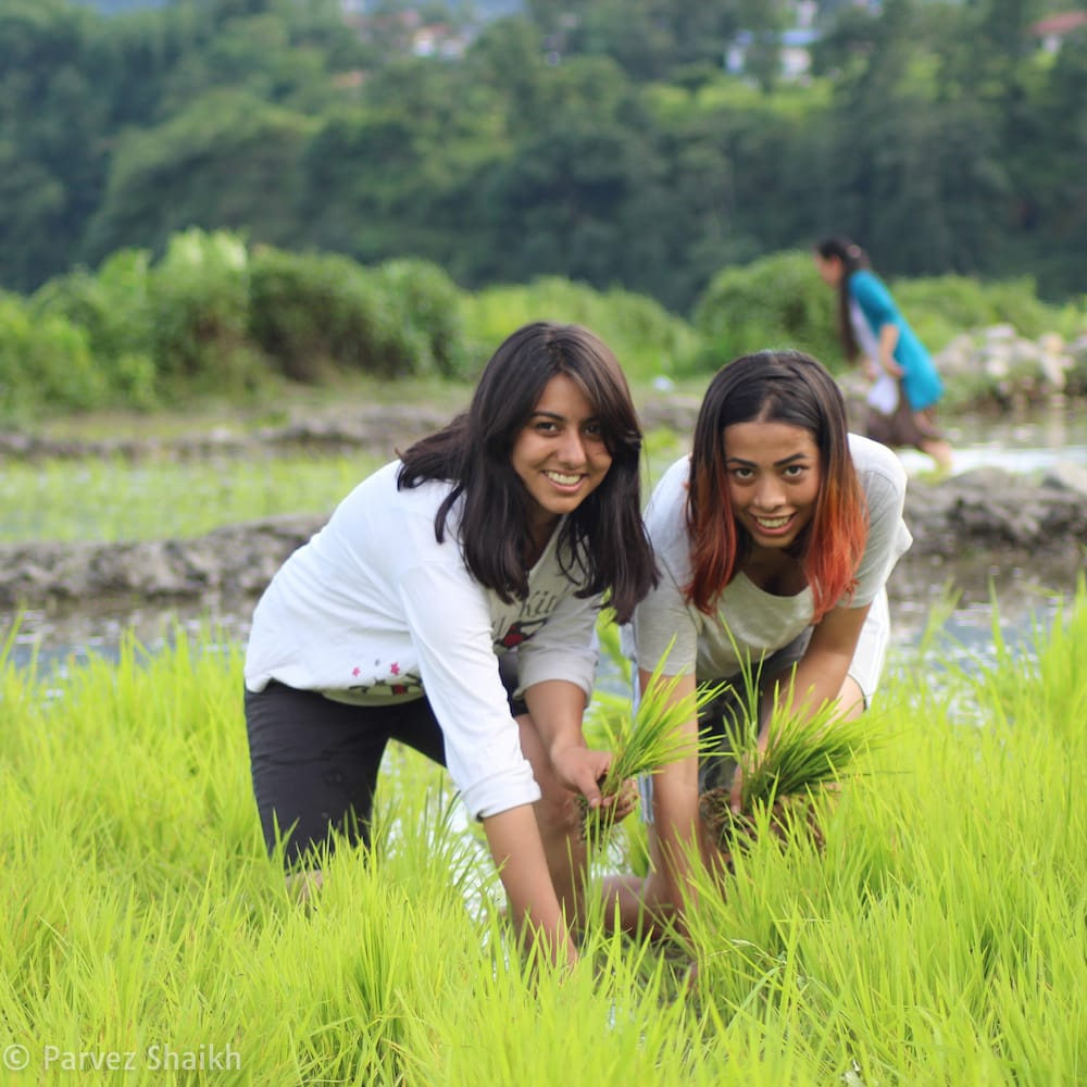 Nepali Girls Planting Rice at Ropain Festival
