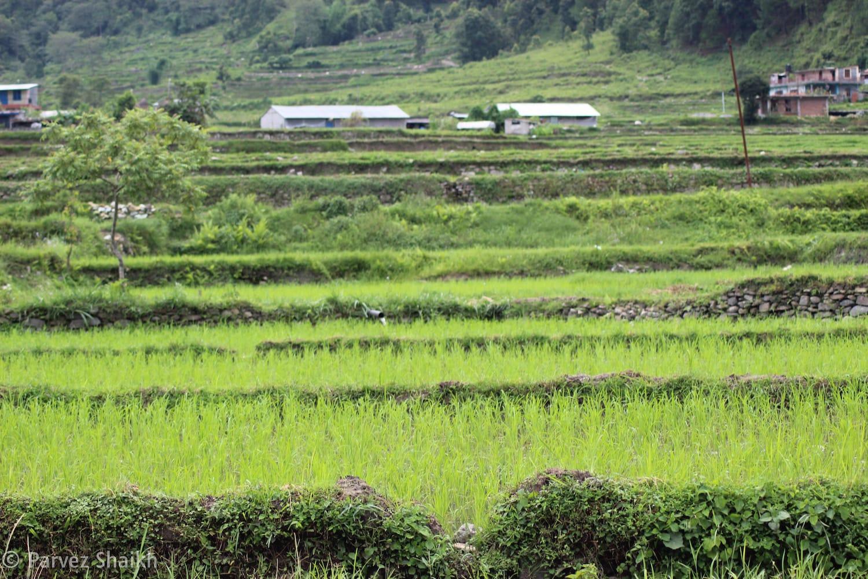 A Rice Field at Pokhara Nepal