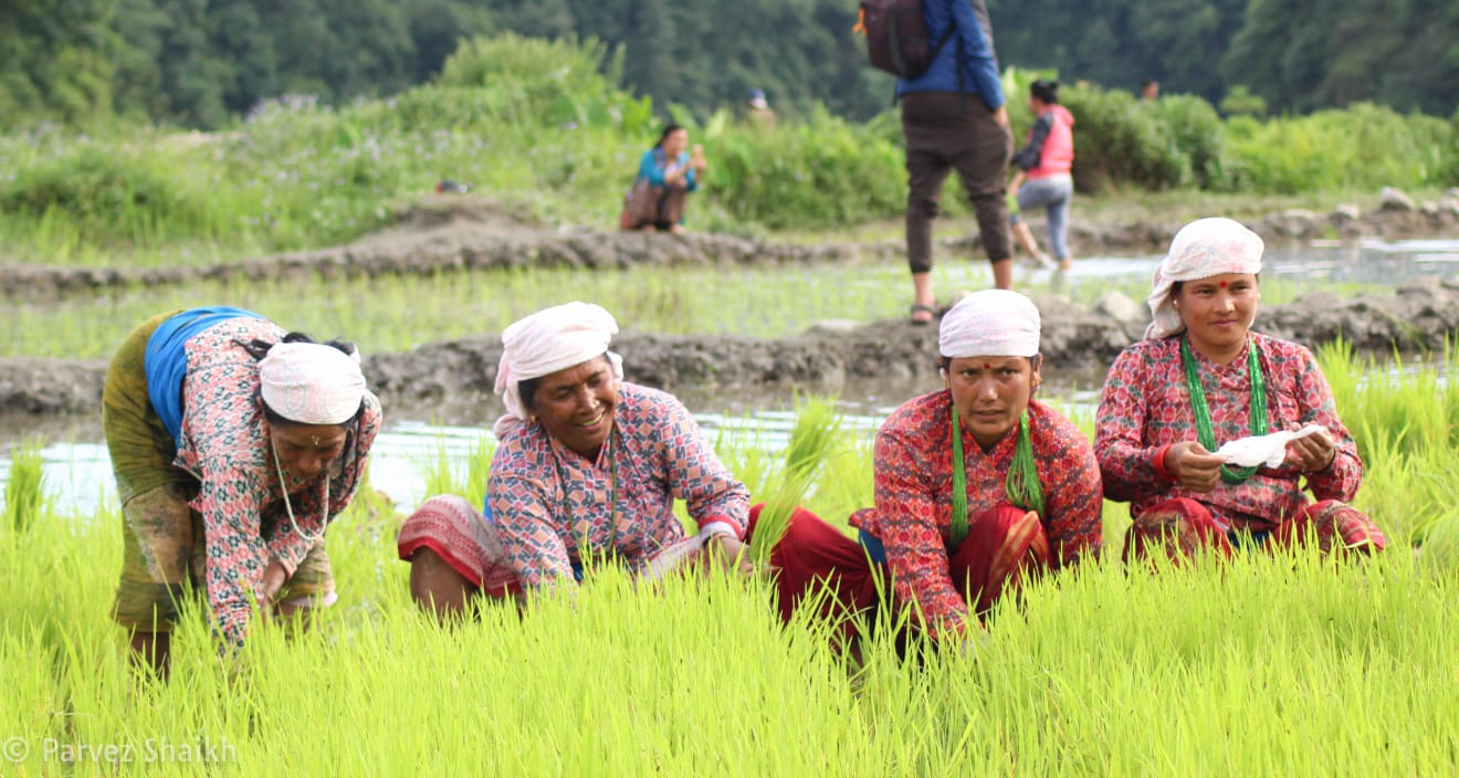 Ropain - The Rice Planting Festival In Nepal
