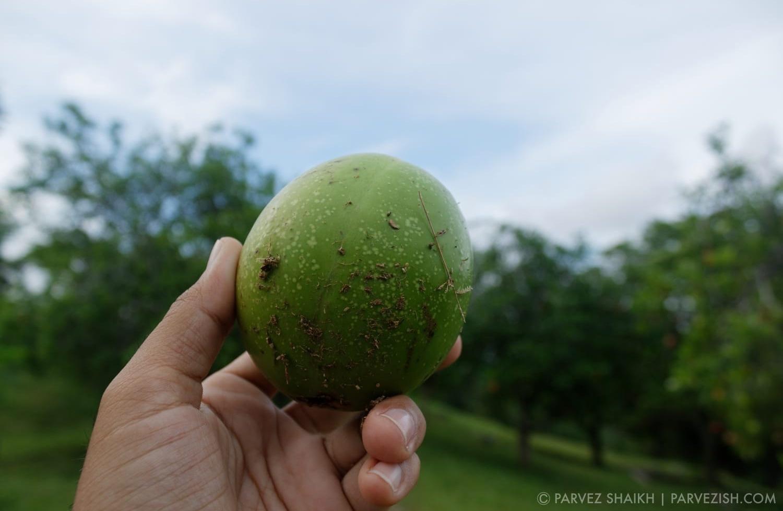 A Fruit Found at Bukit China
