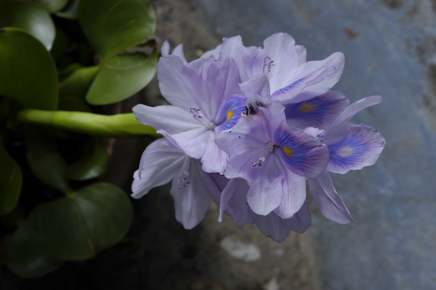 A common water hyacinth flower