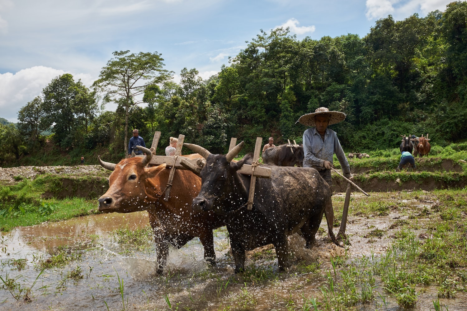 A Farmer Plowing A Rice Field with Bullocks in Begnas Village of Nepal