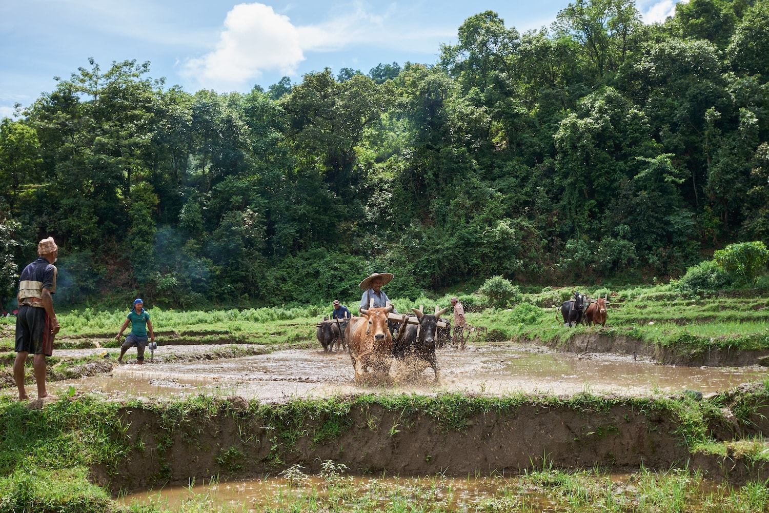 Farmers plough rice field with bullocks in Begnas, Nepal