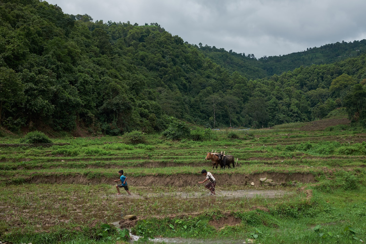 Kids play in a rice field in Begnas village as bullocks rest in the background