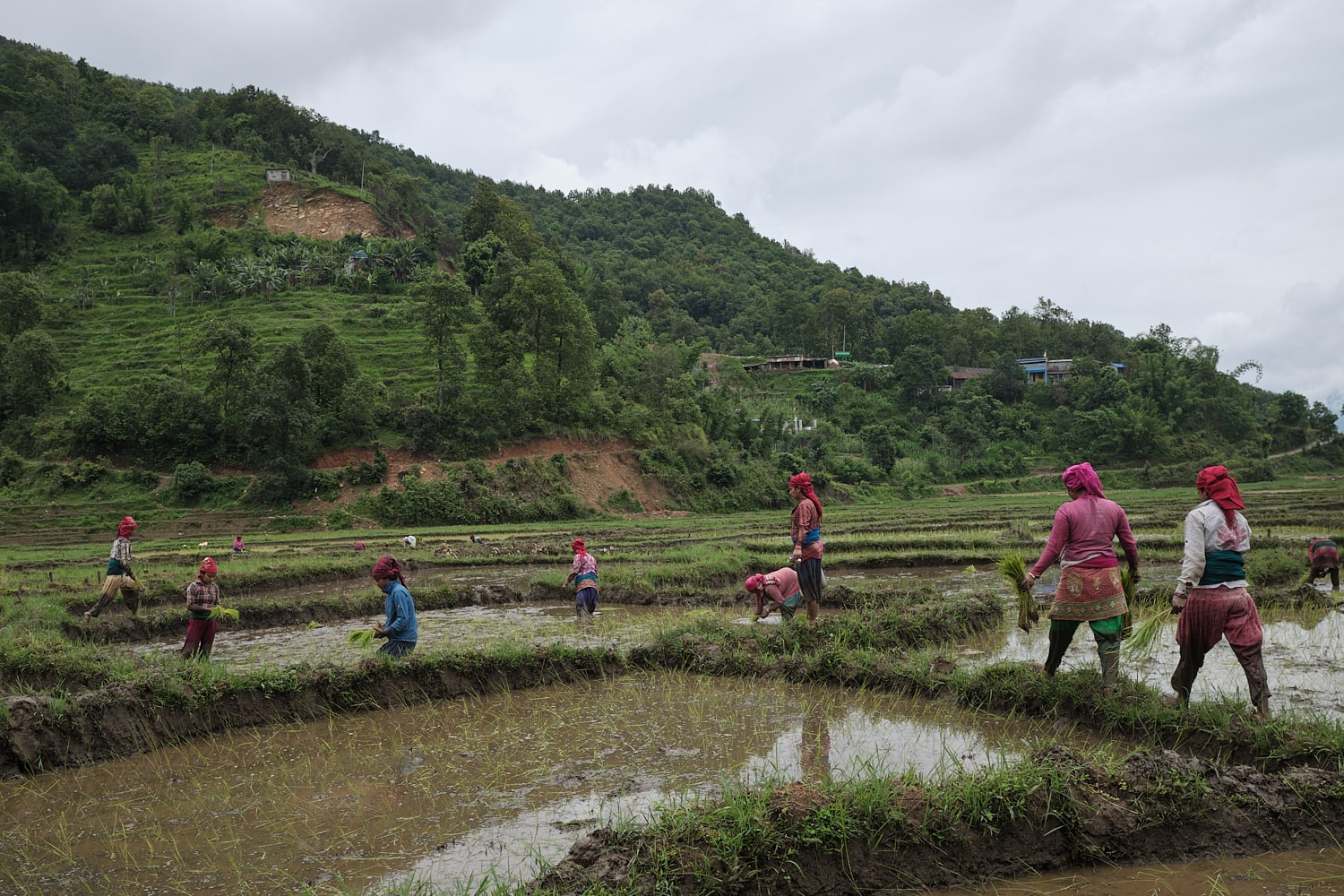 Women planting rice at a field in Begnas, Nepal